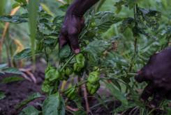 Innhøsting av grønn chili